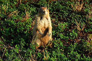 Prairie dogs in Greycliff Prairie Dog Town