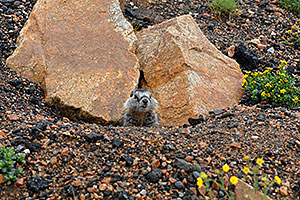Marmot living at top of Beartooth Pass Highway