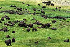 Herd of over 200 Buffalo