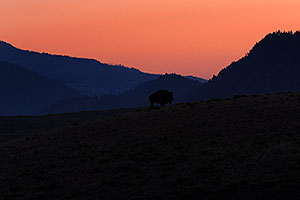 Buffalo walking in the morning in Lamar Valley