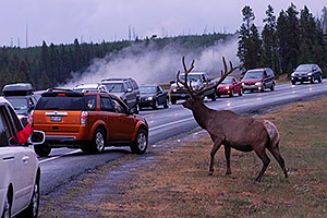 6 year old Bull Elk crossing the road -- traffic stopped to enjoy the view