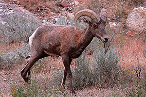 Bighorn Sheep in Wind River Canyon