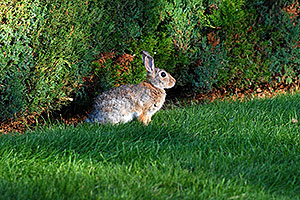 Rabbit in Lone Tree