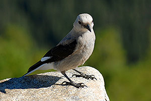 Gray Jay bird at Rainbow Curve in western  Rocky Mountain National Park