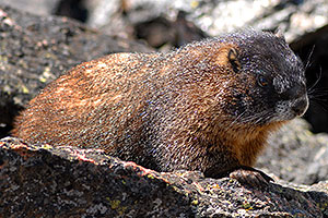 Marmot at Rock Cut - in western Rocky Mountain National Park