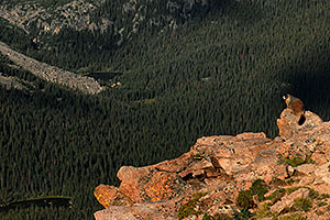 Marmot overlooking Forest Canyon (11,716 ft) along Trail Ridge Road