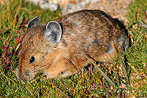Pika gathering grass for winter warmth and food