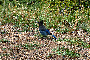 (blue) Steller`s Jay near Sheep Lakes