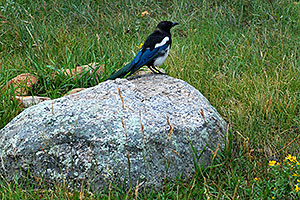 Black-billed Magpie (blue and white with black head and beak) near Sheep Lakes