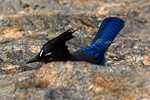 (Blue) Steller`s Jay in Rocky Mountain National Park
