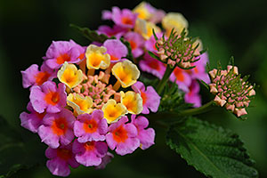 Lantana Camara flowers in Tucson, Arizona