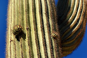 Saguaro cactus in Superstition Mountains