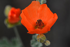 Orange Desert Globemallow (Apricot Mallow) in Saguaro National Park