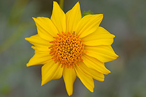 Yellow Desert Sunflower in Saguaro National Park
