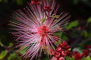 Red Baja Fairy Duster flower in Saguaro National Park