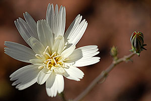 Desert Chicory flower (white) in Superstition Mountains