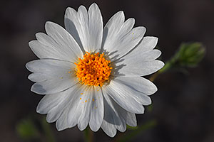White Wooly Daisy flower in Superstitions
