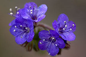 Blue Canterbury Bell flowers or Wild Heliotrope (Phacelia distans) in Superstitions