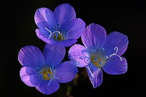 Violet Canterbury Bell flowers in Superstitions