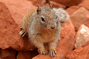 Friendly Squirrel in Grand Canyon, at lookout of 2mile Resthouse