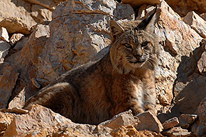 Bobcat at top of South Kaibab Trail in Grand Canyon