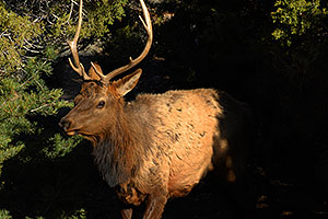 5 year old Bull Elk near Mather Point in Grand Canyon