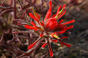 Red Indian Paintbrush by Little Colorado River Gorge east of Grand Canyon