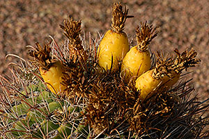 Fishook cactus fruit in Superstitions