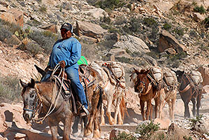 Mules along Havasupai Trail