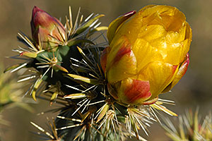 Yellow flowers of Cholla Cactus in Superstitions