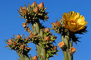 Yellow flower of Cholla Cactus in Superstitions