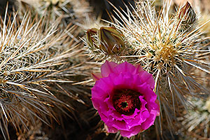 Purple flower of Hedgehog Cactus in Superstitions