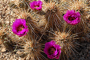 Purple flowers of Hedgehog Cactus in Superstitions