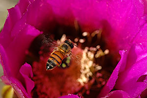 Honey Bee on a purple flower of Hedgehog Cactus in Saguaro National Park