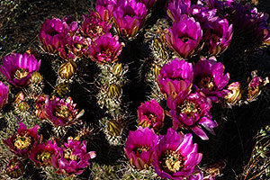 Purple flowers of Hedgehog Cactus in Saguaro National Park
