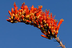 Orange-red Ocotillo flower in Saguaro National Park