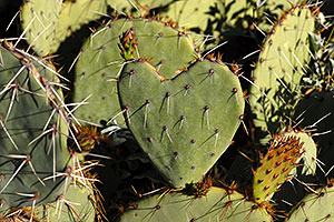 Heart-shaped Prickly Pear Cactus in Saguaro National Park