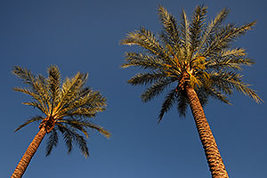 Palm Trees in Tempe, Arizona