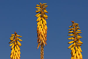 Yellow agave flowers in Superstitions