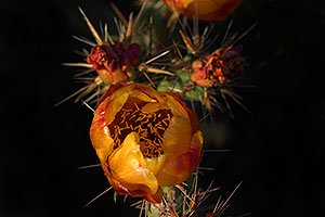 Orange flower of Cholla cactus in Superstitions