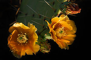 Yellow flowers of Prickly Pear Cactus in Superstitions