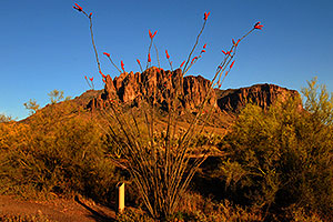 Ocotillo plant in Superstitions