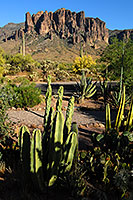 Organ Pipe Cactus in Superstitions