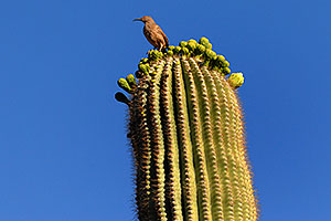 Bird on top of Saguaro Cactus in Superstitions