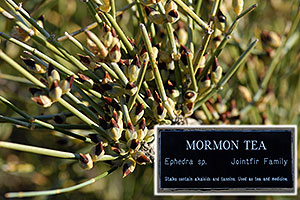 Mormon Tea Bush in Superstitions