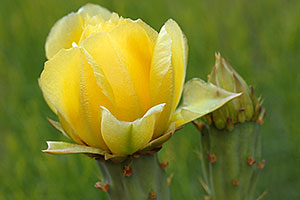 Yellow flower of Prickley Pear Cactus along Havasupai Trail