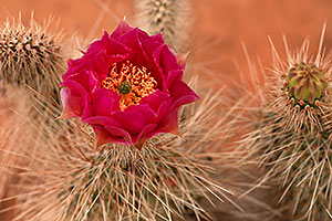 Red flower of Hedgehog Cactus along Havasupai Trail