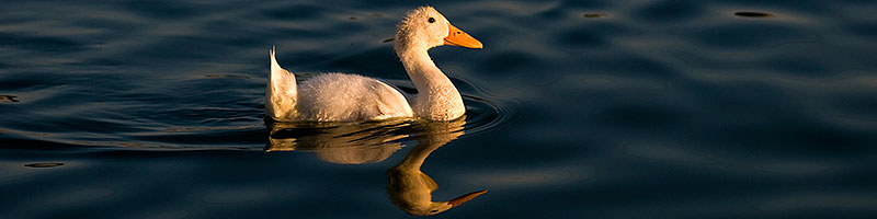 Young white duck reflecting in a pond at Freestone Park