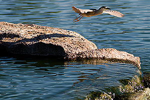 Black Crowned Night Heron in flight at Freestone Park