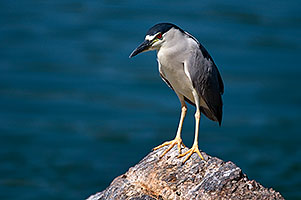 Black Crowned Night Heron at Freestone Park
